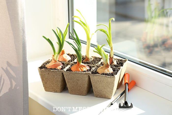 onions growing in a pot near a window